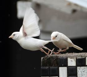 [<!HS>서소문사진관<!HE>] 좋은 소식 전하는 '흰 참새'<!HS>,<!HE> 춘천에 나타났다
