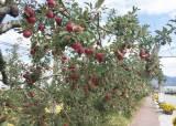 사과 못 자라고, 벼 수확도 줄어든다…2100년 온난화 암울한 전망