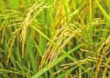 [食쌀을 합시다] 쌀의 영양학적 가치 재발견 … 맛을 넘어 기능성에 주목하다