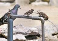 [한 컷] 무더위 속 순서대로 물 먹는 참새와 비둘기
