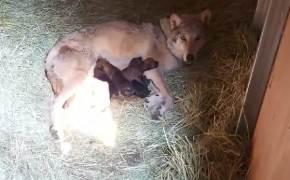 5남매 태어나자 아빠 격리됐다···늑대 태어난 전주동물원 풍경