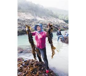 [<!HS>남도의<!HE> <!HS>맛<!HE>&<!HS>멋<!HE>] 갯바위·절벽서 자란 자연산 돌미역칼슘·섬유질 풍부한 '바다의 쇠고기'