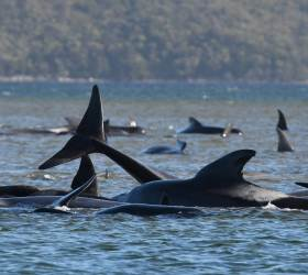 [<!HS>서소문사진관<!HE>] 호주 해안에 100여마리 시신...고래 떼죽음 미스터리