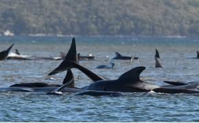 [서소문사진관] 호주 해안에 100여마리 시신...고래 떼죽음 미스터리