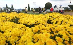 차 타고 국화밭 나들이, 가을 축제도 드라이브 스루가 대세