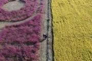 """'분홍빛 가을' 번지는 핑크뮬리···""""생태계 위협 아직 없어"""""""