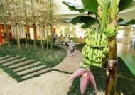 포스코 본사 어린이집 실내정원서 열대과일 바나나 열매 맺어