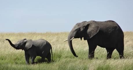 [더오래]죽어가는 동료의 무덤 만들고 추모도 하는 코끼리