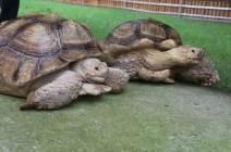 """[영상] """"친구야 일어나""""···뒤집어진 친구 돕는 '착한 거북' 포착"""