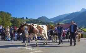 알프스의 가을이 시작되는 날, 소 떼가 돌아오는 날