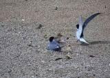 쇠제비갈매기 사는 안동 인공모래섬에 비발디 '사계' 흐른다