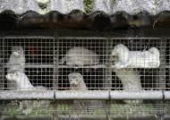 변종 코로나가 불러온 밍크의 비극…1700만 마리 살처분 운명
