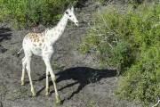 암컷·새끼 잃고 홀로 남았다, 지구에 단 한마리 '하얀 기린'