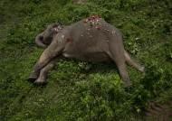 '쇼' 멈추자 '팽' 당했다, 버림받은 코끼리들의 슬픈 귀향길