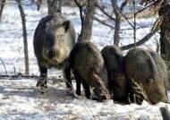 영월까지 간 돼지열병, 북한강 방어선 뚫렸다…전국이 비상