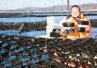 [남도의 맛&멋] 해양수산부 국가중요어업유산 지정…전통방식으로 양식한 명품 '돌김'