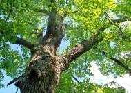 [더오래]임종 앞둔 남편이 벌인 개오동나무 벌목 소동