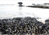 [조용철의 마음 풍경] 동해바다 검푸른 홍합 장관