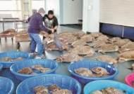 [사진] 거북이도 기절시킨 텍사스 강추위