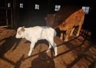 흰 소띠 영천시 경사...인내와 힘의 상징 '흰 소'가 태어났소~