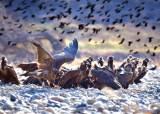 [사진]울산 찾아온 독수리 떼 수백마리…2m 날개 핀 광경
