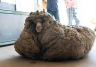 깎고보니 양모만 35kg…털 때문에 죽을뻔한 '털보 양' [영상]