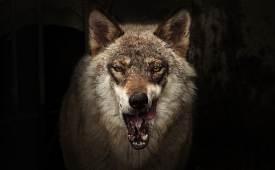 외로운 늑대? 알고 보면 소통 달인울음표정소변까지 이용