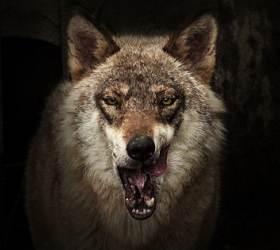 외로운 늑대? 알고 보면 소통 달인···울음·표정·소변까지 이용