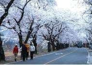 """""""봄은 왔는데""""...군항제 이어 화개장터 벚꽃 축제도 2년 연속 취소"""