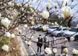 [사진] 봄을 <!HS>맞이<!HE>하는 백목련