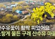 [영상] 하늘에서 본 노랑 세상, 산수유꽃 만발한 구례 산동마을