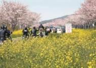 [사진] 드라이브스루로 즐기는 제주의 봄