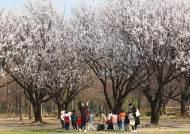 매화? 벚꽃? 살구꽃? 복사꽃? 헷갈리는 봄꽃 구별법