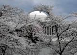 美 수도 워싱턴에 만발한 벚꽃, 제주도 한라산 왕벚꽃일까
