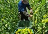 '대저 신도시'에 설 자리 뺏긴 부산 명물 '대저 토마토'