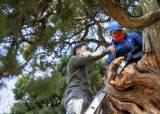아낌없이 주는 나무…800살 곱향나무를 아시나요?
