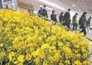 [사진] 찾아가는 유채꽃 축제