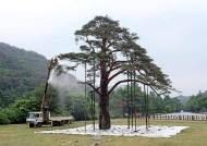 세조 행차때 가지 든 소나무…600년 정이품송 '자목' 전국서 러브콜