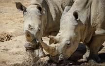 [더오래]시력 나쁜 초식동물 코뿔소, 그래도 사람 빼곤 무적
