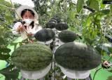 허리·무릎 '농부병' 원흉 제거했다, 서서 재배하는 수박농사법