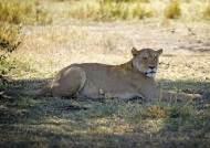 인도는 동물도 지옥…동물원 사자 9마리 감염, 1마리는 숨져