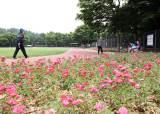 서울 동작구 노량진근린공원은 지금 장미향 가득