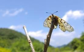 권혁재 핸드폰사진관   멸종위기종 Ⅰ급 붉은점모시나비, 접었던 병풍 펴듯 390분 날개 펴기