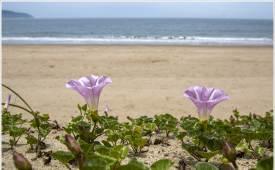 조용철의 마음 풍경 외딴섬 갯메꽃이 외치네