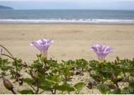 [조용철의 마음 풍경] 외딴섬 갯메꽃이 외치네