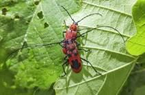 [권혁재 핸드폰사진관] 곤충계 최강 멋쟁이 신사, 모자주홍하늘소
