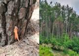 돌연 죽은 소나무 수십그루…구멍 뚫린채 제초제 테러당했다