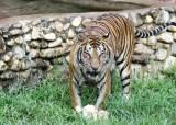 '호랑이도 백신맞았다'…美동물원, 100여마리에 동물전용 코로나 백신접종