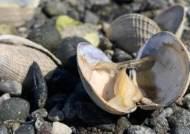 북미덮친 50℃ 최악 폭염…양식장 조개들 모조리 익어버렸다