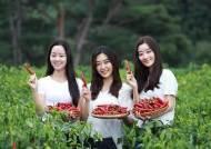 """""""영양 고추아가씨 또 못 뽑는다""""…코로나 확산에 대회 무기한 연기"""